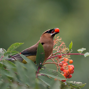 Cedar Waxwing with Berry by Gary Amendola - Animals Birds ( bird, berry, ash tree, cedar waxwing, hungry )