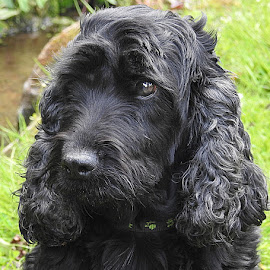 Holly by the Stream by Chrissie Barrow - Animals - Dogs Portraits ( curly, female, cocker spaniel, pet, fur, ears, dog, nose, black, portrait, eye )