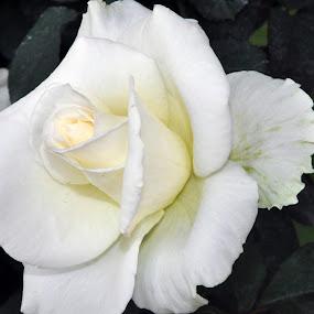 WHITE  by Debanjan Goswami - Flowers Single Flower (  )