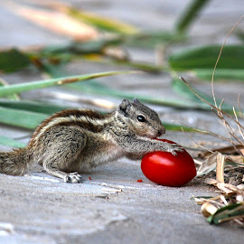 This is my Tomato. by Manish Upadhyay - Animals Other ( tomato, eating, landscape, canon eos, squirrel )
