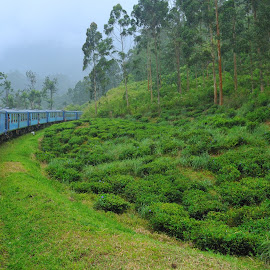 Tea plantation train by Tomasz Budziak - Transportation Railway Tracks ( asia, train, transportation,  )