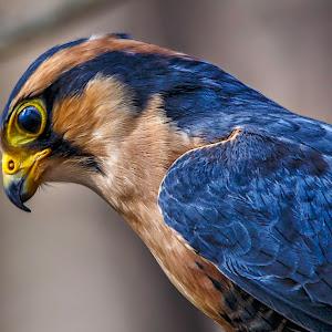 falcon-1.jpg