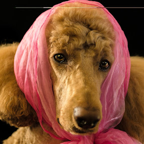 Rupert by Laurie King - Animals - Dogs Portraits ( pink scarf, pet portrait, poodle, red, ginger, standard, dog portrait, dog )
