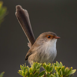 Superb Fairy Wren Perched by Andrew Franks - Animals Birds