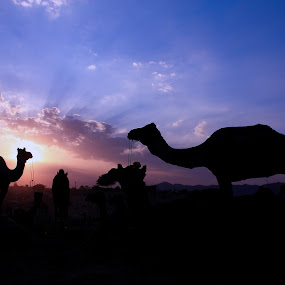 Camels posing for a Silhouette at the Pushkar Fair by Sridhar Balasubramanian - Animals Other Mammals ( cattle fair, silhouette, rajasthan, camels, india )