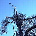 Acorn Woodpecker Granary tree