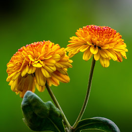 Chrysenthemum by Sanjeev Goyal - Flowers Flowers in the Wild ( love, nature, pair, yellow, flower )