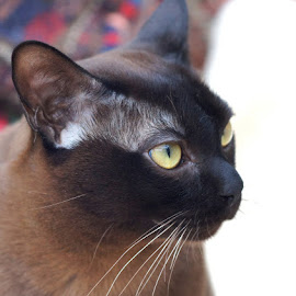 George by Caroline Beaumont - Animals - Cats Portraits ( brown burmese cat )