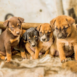 Puppies Big Family by Kriswanto Ginting's - Animals - Dogs Portraits ( puppies, family, nikon d7100, dog portrait, puppy, nikon, dog )