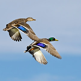 Mallards in Flight by Steve Forbes - Animals Birds ( flight, sky, female, mallards, male, feathers )