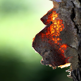 a fire within by Sunil Pawar - Nature Up Close Trees & Bushes ( abstract, detail, structure, old, green, texture, sunlight, glow, tree trunk, material, fire, skin, nature, bark, outdoor, light )