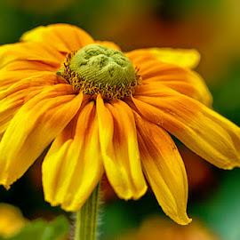 Yellow flower by Radu Eftimie - Flowers Single Flower ( yellow, flower )