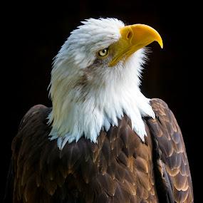 North American Bald Eagle by Kain Dear - Animals Birds ( pose, eagle, bill, beak, brown, bald, beauty, feathers, eyes )