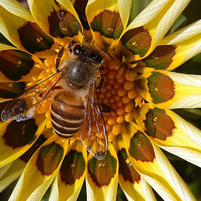 Busy Bee... by Pradeep Kumar - Animals Insects & Spiders