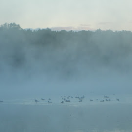 Ducks on a Foggy Morning by Kristine Nicholas - Novices Only Wildlife ( water, bird, animals, aquatic, fog, ducks, duck, trees, weather, lake, landscape, pond, birds, river )