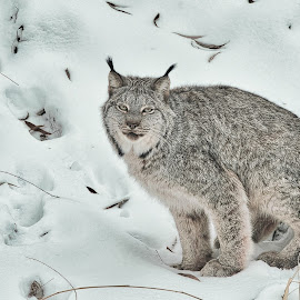 Midwinter Lynx by Garry Dosa - Animals Lions, Tigers & Big Cats ( december, winter, staring, snow, lynx, outdoors, animial,  )