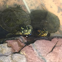 Yellow-bellied slider and red-eared slider