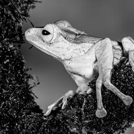 Frog by Garry Chisholm - Black & White Animals ( macro, frog, nature, amphinbian, garry chisholm )