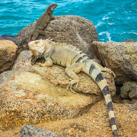 Aruban Iguanas by Kathy Suttles - Animals Reptiles