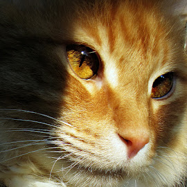 You are my sunshine  by Trish Hamme - Animals - Cats Portraits