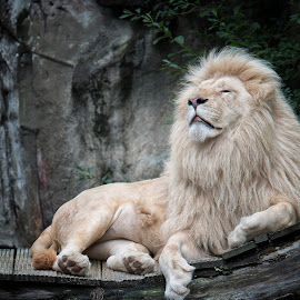 Poekie (3) by Esmeralda Holman - Animals Lions, Tigers & Big Cats ( wild, lion, white lion, male lion, animal )