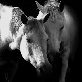 by Daniel van Wyk - Animals Horses