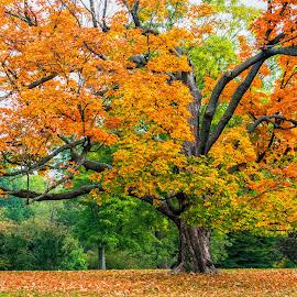 Autumn Splendor by Joan Sharp - Uncategorized All Uncategorized ( fall colors, autumn, trees, near baltimore, ginormous )