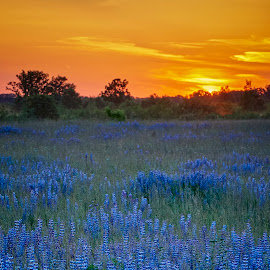 Lupine by Mike Woodard - Flowers Flowers in the Wild ( sherburne wildlife refuge, lupine, blue flower, flowers )