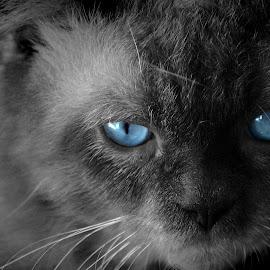 Blue selective eyes by Ubaidillah Elmuddin - Animals - Cats Portraits ( cat, blue, bw, eye )