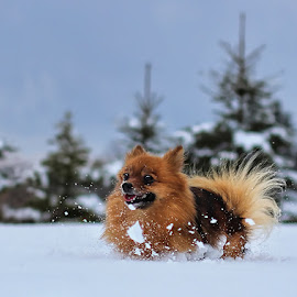 Snowplow! by Jane Bjerkli - Animals - Dogs Running ( playing, winter, pomeranien, pet, snow, fun, dog, running, animal )