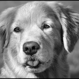 Golden Retriever by Dave Lipchen - Black & White Animals ( golden retriever )