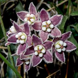 Milkweed by Dawn Hoehn Hagler - Flowers Flower Gardens ( pima county cooperative extension gardens, purple, arizona, tucson, milkweed, garden, flower, purple flower )