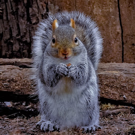 Chubby Baby by Sue Delia - Animals Other ( squirrel, chubby, rodent, baby, wild,  )