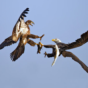 Bald Eagle Food Fight by Herb Houghton - Animals Birds ( bird of prey, eagle, fight, bald eagle, raptor, animal, motion, animals in motion, pwc76 )