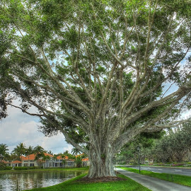 Huge Banyon Tree by Sandy Friedkin - Landscapes Forests ( huge, banyon, tree, wide limbs )