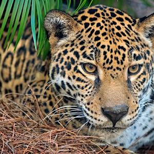 Jaguar 161210017.jpg