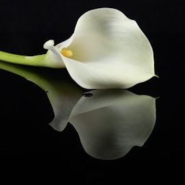 Calla Lily by Simon Hall - Flowers Single Flower