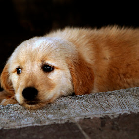 missig you by Cristobal Garciaferro Rubio - Animals - Dogs Puppies ( pet, dog, golden retriever )