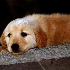 missig you by Cristobal Garciaferro Rubio - Animals - Dogs Puppies ( pet, dog, golden retriever )