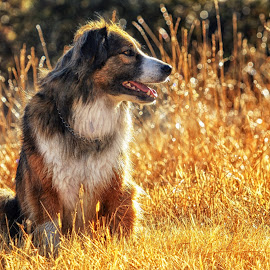 English Shepherd Portrait-2 by Twin Wranglers Baker - Animals - Dogs Portraits