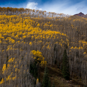 Aspen's aspens by Steve Outing - Landscapes Forests ( mountain view, autumn leaves, fall colors, colorado, forest, taylor pass, yellow, leaves, aspen, fall leaves, mountains, aspen trees, autumn, fall, trees, aspens, autumn colors )