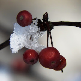 red berries and white snow by Dubravka Penzić - Nature Up Close Gardens & Produce (  )