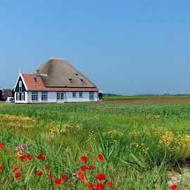 Frühling auf Texel by Elke Krone - Landscapes Prairies, Meadows & Fields ( landschaft, red, gebäude, wiese, holland, haus, niederlande, texel, feld, mohn, frühling, hof, gelb )