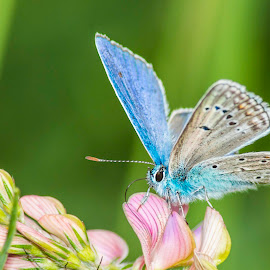 by Laurentiu Barbu - Animals Insects & Spiders ( butterfly, nature, blue, green, aqua )
