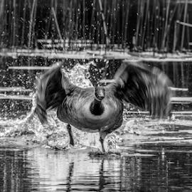 Walk on water by Garry Chisholm - Black & White Animals ( lift off, nature, duck, bird, take off, water, garry chisholm, wildlife )