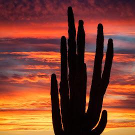 Arizona Sunset with Saguaro by Dave Lipchen - Landscapes Sunsets & Sunrises ( red skies, sunset, cactus, saguaro )