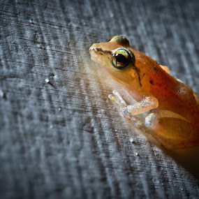 Tree Frog by Fergus Ford - Animals Amphibians ( macro, barbados, tree, frog, caribbean )