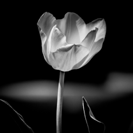 Moonlight by Myra Brizendine Wilson - Black & White Flowers & Plants ( multicolor tulips, spring flowers, black and white, blooms, bloom, tulips, spring,  )