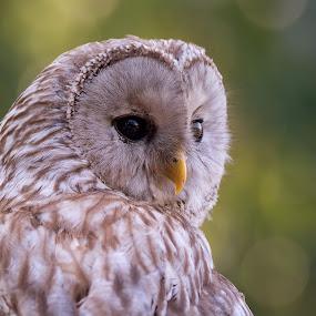 Rosalia by Jiri Cetkovsky - Animals Birds ( rosalia, ird, owl, lednice, animal )