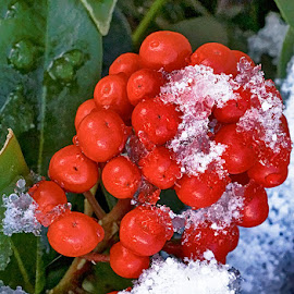 Red fruits under snow by Radu Eftimie - Nature Up Close Other Natural Objects ( red, snow, fruits )